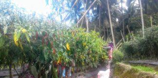 Waw!!!, Hasil Panen Cabe Keriting Warga Moyag Mencapai 1,8 Ton