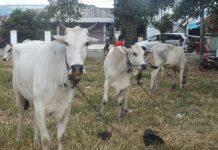 Wali Kota dan Keluarga Sumbang 10 Ekor Sapi untuk Dikurbankan di Sejumlah Desa/Kelurahan