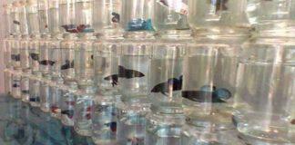 Hasil Penjualan Ikan Hias Ternyata Menjanjikan