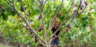 Kakao Jadi Komoditi Andalan Kota Kotamobagu