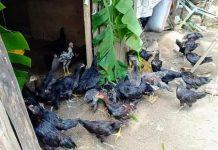 Jelang Idul Adha, Ayam Kampung Milik Warga Kopandakan 1 Laris