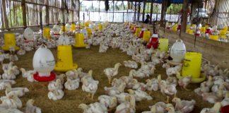 Kotamobagu Sentra Produksi Ayam Pedaging Terbesar di Sulut