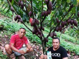 Ikhsan Kembangkan Tanaman Kakao Unggulan