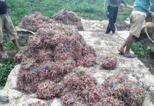 Produksi Bawang Merah di Desa Ini Topang Kebutuhan Masyarakat Kotamobagu
