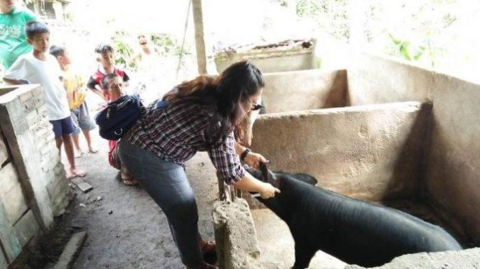 Pastikan Aman Dikonsumsi, Pemkot Kotamobagu Periksa Kesehatan Babi Sebelum Dipotong