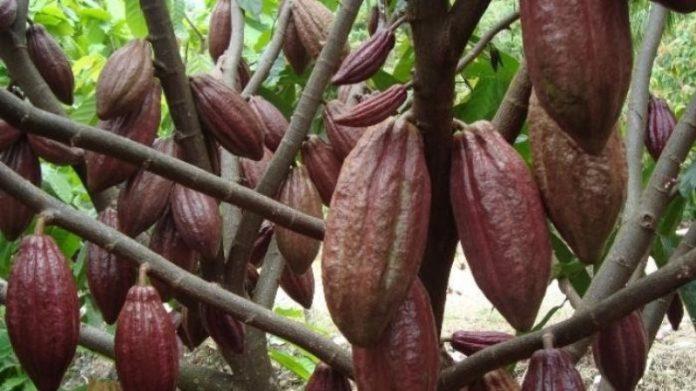 MengIntip Desa Coklat di Kabupaten Bolmong