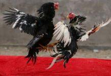 Judi Sabung Ayam Kembali Ramai di BMR