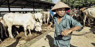 Pemkab Bolmong Akan Sembelih 7 Ekor Sapi, Sumbangan dari Olly Tak Ketinggalan
