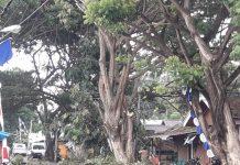 Bupati Boltim Instruksikan Pangkas Pohon Trembesi di Ruas Jalan Ibu Kota