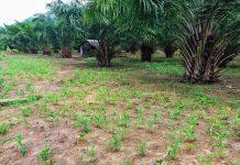 Jaga Ketahanan Pangan, Agricore Mulai Kembangan Tanaman Porang