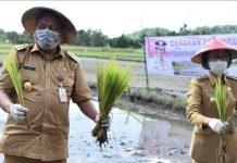 Bibit Unggul Padi Sulutan Solusi Para Petani di Bolmong