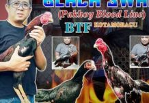 Ayam Tarung di Kandang BTF Kotamobagu Berkualitas Import