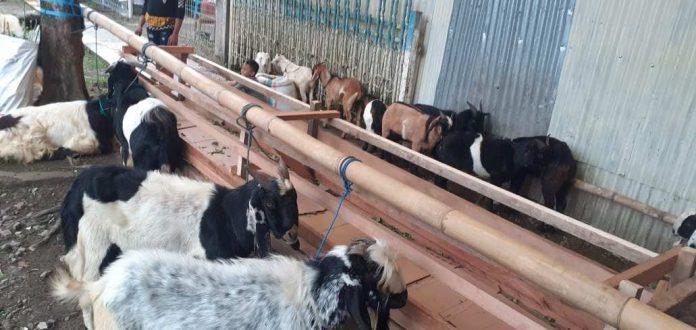 Penjual Hewan Kurban di Kotamobagu Ini Menerima Jasa Pesanan via Online