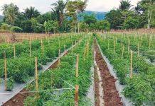 Produksi Cabai Rawit Terus Meningkat, Bolsel Potensi Menjadi Lumbung di Sulut